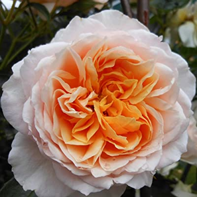 Own-Root One Gallon Ginger Syllabub English Legend Rose by Heirloom Roses : Garden & Outdoor