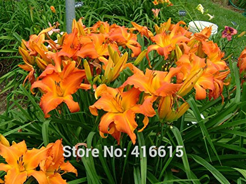 Orange Lily - Day Lily Daylily Seeds Hemerocallis Primal Scream Seeds Hemerocallis Fulva Day-lily Orange Flower Seeds Ground Cover Plants