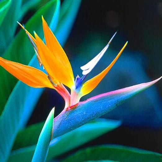 QHYDZ Garten-10pcs Rara Exotica Semillas Flores Strelitzia Ave del Para/íso Flor Ornamental Decorativa como Arreglos Florales para Atraer a los P/ájaros