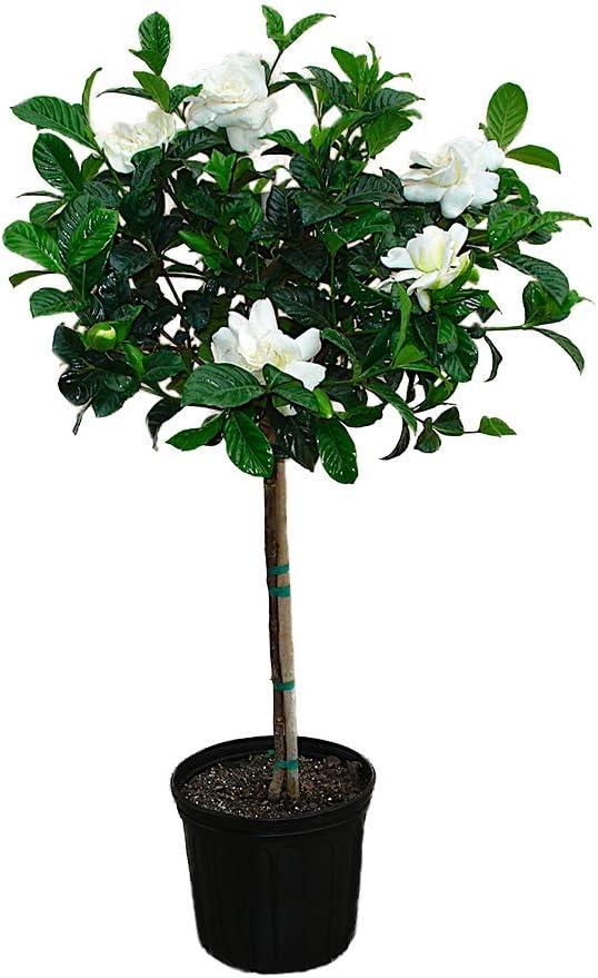 American Plant Exchange Miami Supreme Gardenia Tree Live Plant, 3 Gallon, Enormous Fragrant Blooms