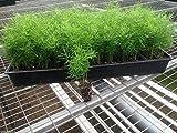 Ming Fern Seeds - Asparagus-myriocladus(20 Seeds) Rare ornamental asparagus.