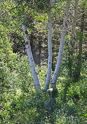 - Populus tremuloides: Quaking Aspen Seeds