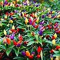 Ornamental Hot Chili Dwarf Pepper Mix Organic Seeds Rare up to 30 Seeds
