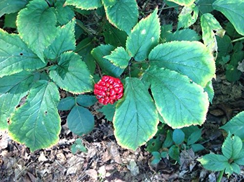 1000 American Ginseng Seeds-Stratisfied 2019 Ready to Plant Now by panax quinquefolius (Image #1)