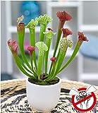 """Schlauchpflanze""""Jutathip Soper"""",1 Pflanze"""