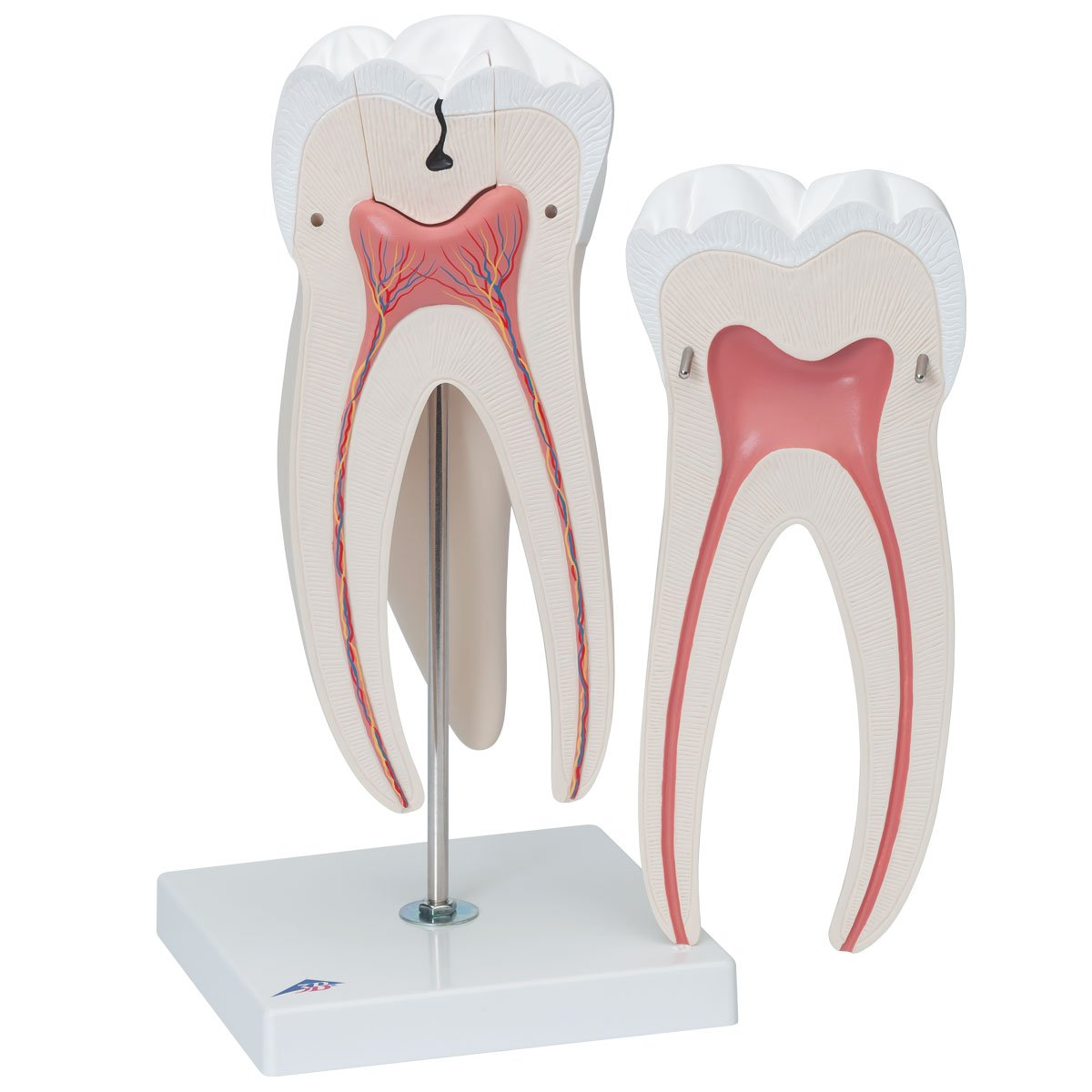 4D Human Anatomy TRIPLE ROOT MOLAR TOOTH build your EDUCATIONAL MODEL Dentist