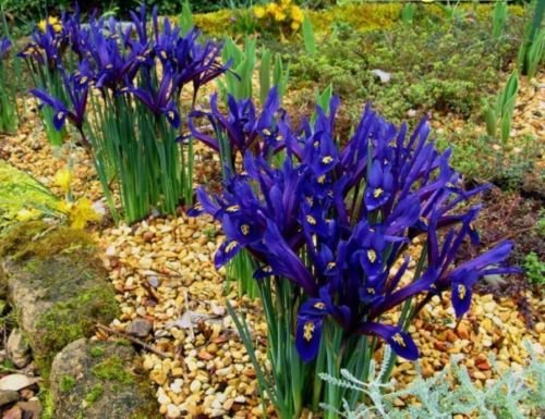 25 Harmony Dwarf Iris,bulbs,early-blooming with beautifully patterned (Grow Dutch Iris)