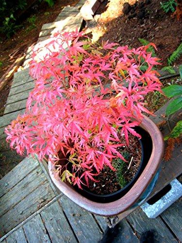 (Kamagata Japanese Maple 1 - Year Live Tree)