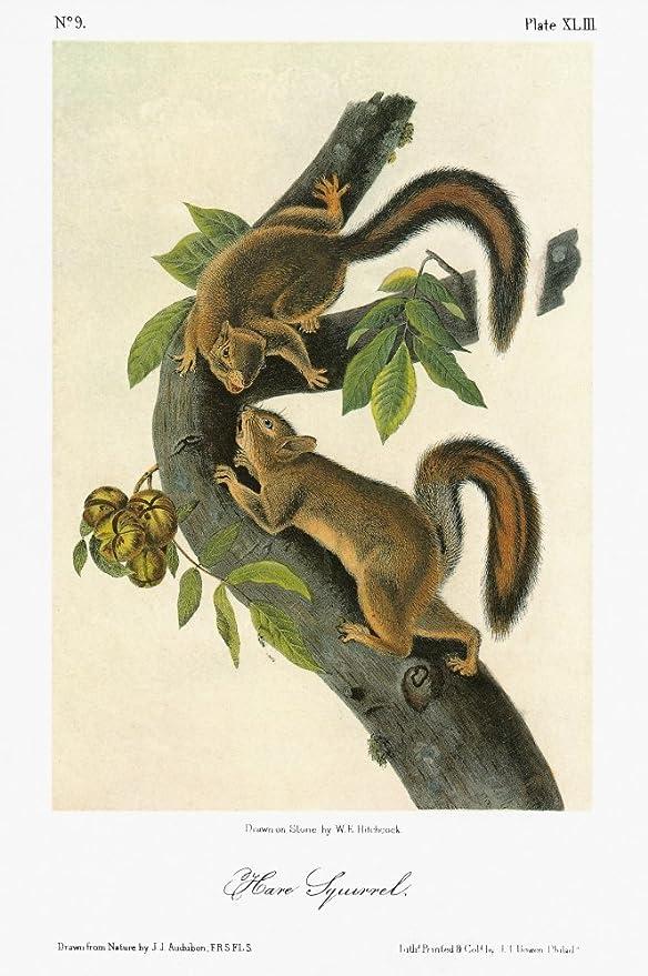 Hare Squirrel by John James Audubon Vintage Illustration Art Poster 24x36
