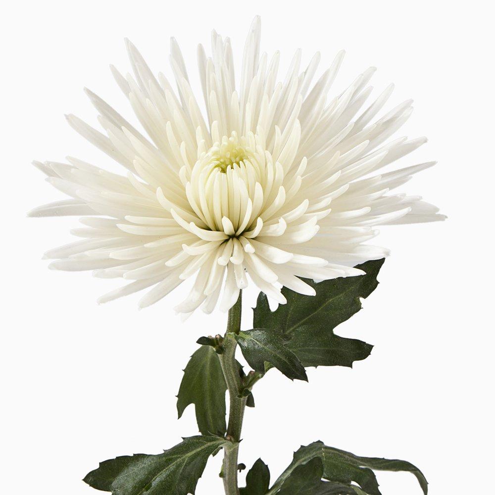 eFlowy - 100 White Spider Mums (Chrysanthemum) Wholesale Fresh Cut from the Farm ... by eFlowy