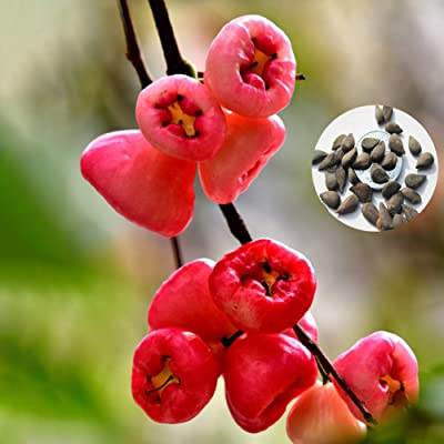 Gaweb-Seed Collections Organic Vegetable Seeds Edible Planting, 50Pcs Delicious Rose Apples Seeds Bonsai Fruit Home DIY Garden Yard Plant Decor - Rose Apple Seeds : Garden & Outdoor