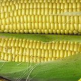 bulk corn seed - Everwilde Farms - 1 Lb Kandy Korn Hybrid Sweet Corn Seeds - Gold Vault