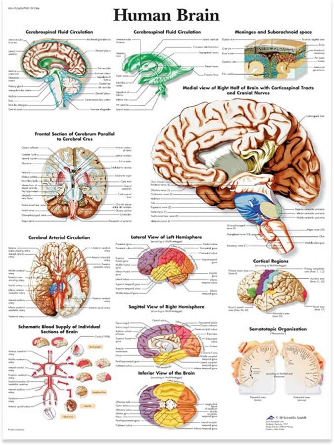 Mayoaoa - Póster anatómico de la anatomía del cerebro humano, lienzo adecuado para la enseñanza de profesores médicos, color b Einheitsgröße