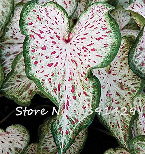 Fresh Ear gigantea colocasia Elephant Thai Seeds 30 Seeds