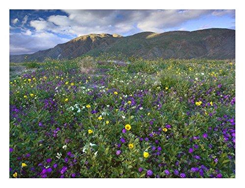Global Gallery Art on a Budget DP-397055-1824 Tim Fitzharris Wildflowers Carpeting The Ground Beneath Coyote Peak Anza-Borrego Desert Giclee on Paper Print (Anza Borrego Wildflowers Best Time)