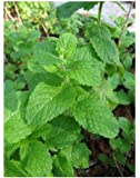 HERB - MINT EGYPTIAN ROUND LEAVES - MENTHA ROTUNDIFOLIA - 0.2 GM ~ 2500 SEEDS