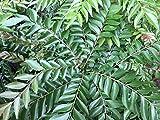 Curry Leaf Tree (Murraya Koenigii) -Indian Fragrant Sweet Neem Leaves Plant