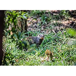 Gifts Delight LAMINATED 32x24 inches Poster: Animal Wildlife Nature Mammal Bird Outdoors Grass Food Cute Wild Small Grey Fur Chipmunk Leaf Leaves Park