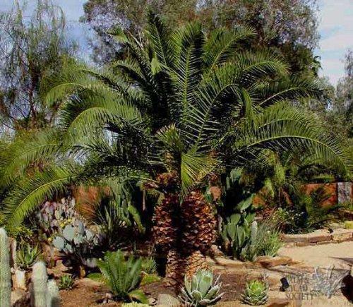 Kanarische Dattelpalme 20 x Samen Phoenix canariensis - Palmensamen