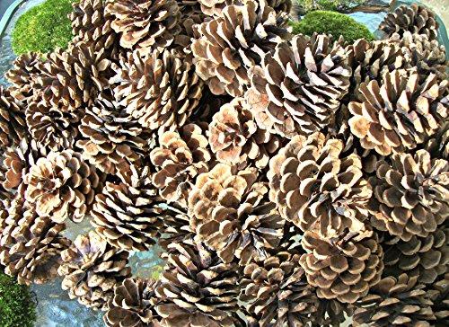 50 Pine Cones! PineCones, Wedding Pine Cones,