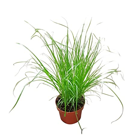 Gato Hierba: alta calidad gato hierba Planta Planta – Forro de en grandes – Olla