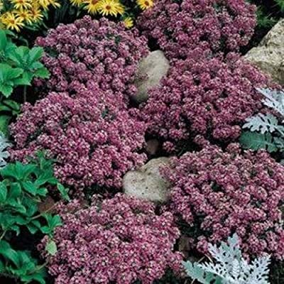 Alyssum- Rosie O'Day- 200 seeds : Garden & Outdoor
