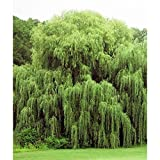2 Weeping Willow Trees Ready to Plant Beautiful Arching Canopy #BC2