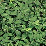 Periwinkle (Vinca Minor), Flat of 50