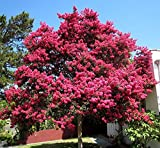 Nianyan Crape Myrtle Lagerstroemia indica 50 Tree Seeds Fall Color