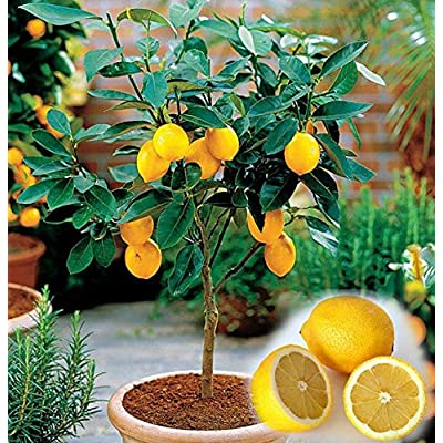 20 Dwarf lemon tree beautiful fruit bonsai potted Full of fragrance make you feel relax SEEDS ONLY : Garden & Outdoor