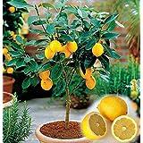 20 Dwarf lemon tree beautiful fruit bonsai potted Full of fragrance make you feel relax