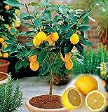 20 nano albero di limone belle bonsai di frutta in vaso pieno di fragranza fanno sentire rilassarsi