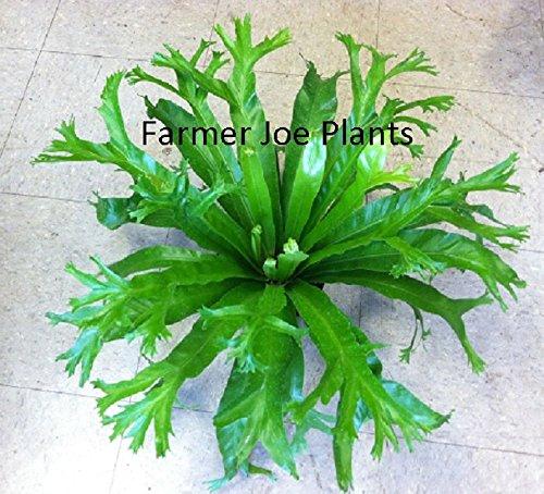 ASPLENIUM - CRISSIE - BIRD NEST FERN - 6'' POTTED PLANT - LIVE PLANT - 1 PLANT by joescrazyplants