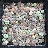 Live Fat Plant Succulent Mini Flowering Stones Colorful Lithops Grow Fast 120+PCS Collection