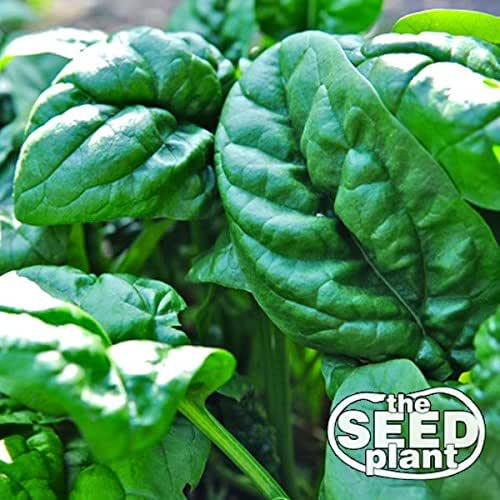 Early No. 7 Spinach Seeds - 100 Seeds Non-GMO
