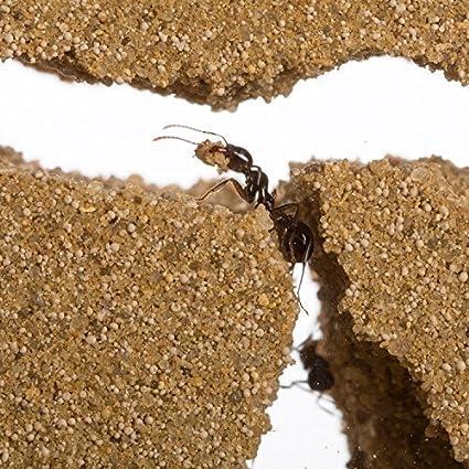 Anthouse Ameisenfarm Starterkit Ameisen Mit Konigin Free Amazon