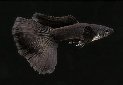 Amazon com : Siam Live Aquarium 2 Pair Black Moscow Guppy, Rare