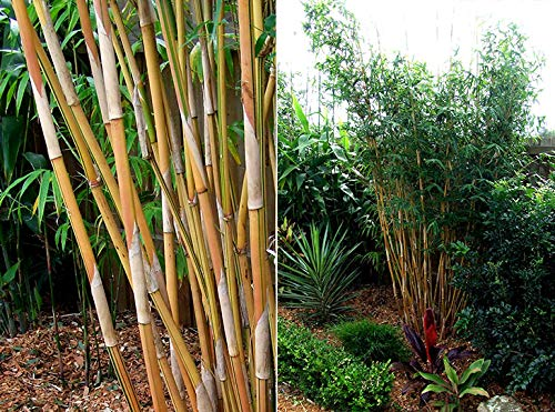 Bambusa Alphonse KARR Clumping Bamboo Plant - 3+ Ft Tall Now! Non-Invasive Variety t by Old Oaks Garden and Nursery, LLC