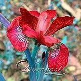 Best Flowers - Brand New! 5 Iris Seeds, popular perennial garden Review