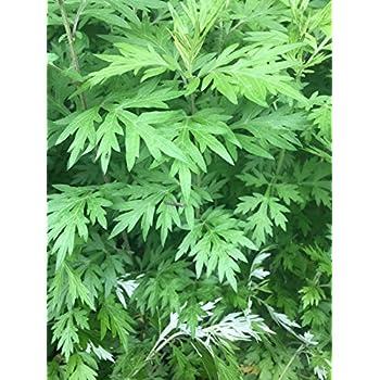 Amazon com: 3 Plants Absinthium Artemisia Wormwood Absinthe Worms