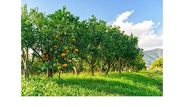 Sunshine Orange Orchard Backdrop 10x10ft Photography Background Oranges Fruit Trees Green Grass Sun Ray Blue Sky Autumn Harvest Rural Scenery Children Portraits