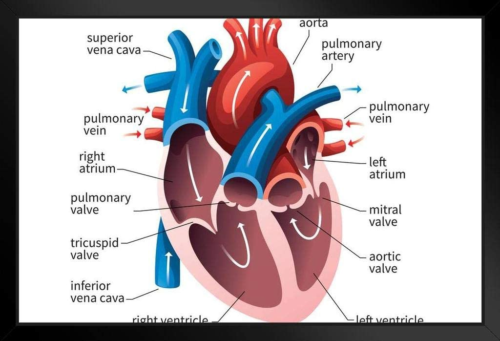 human circulatory system diagram amazon com human heart circulatory system diagram chart cool huge  human heart circulatory system diagram