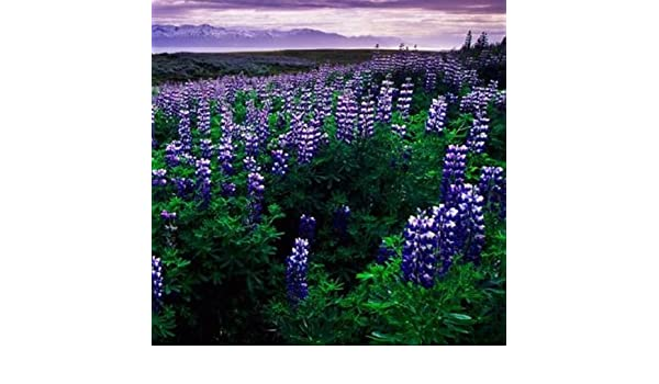 100 Russell Lupine Flower Seeds Lupinus polyphyllus Perennial w// Gift COMB S//H