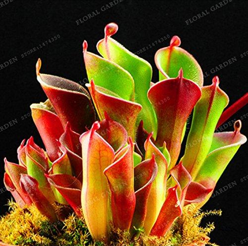 Hot Sale! Home Garden 100PCS Seeds Venus Fly Trap Heliamphor Carnivorous Plant Seeds Diy Bonsai Potted (Aqua Ceramic Bonsai Pot)