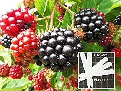 Organic Triple Crown Thornless Blackberry 300 Seeds Upc 646263362471 + 1 Free Plant Marker