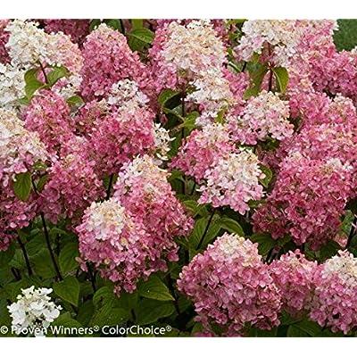Amazing Plants / - Fire Light Hydrangea paniculata 'SMHPFL' Proven Winners, Quart Pot : Garden & Outdoor