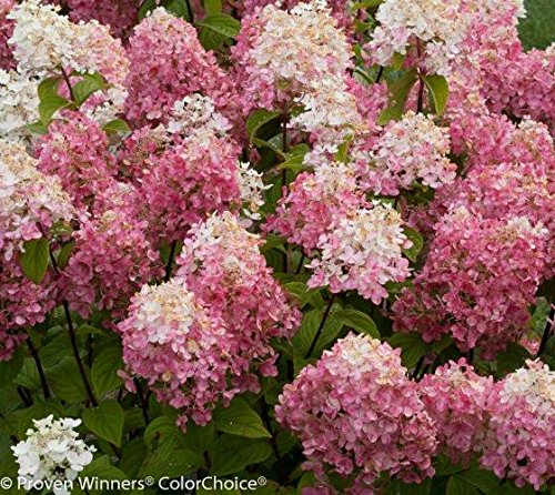 Fire Light Hydrangea - Live Plant - 4 inch Pot by New Life Nursery & Garden