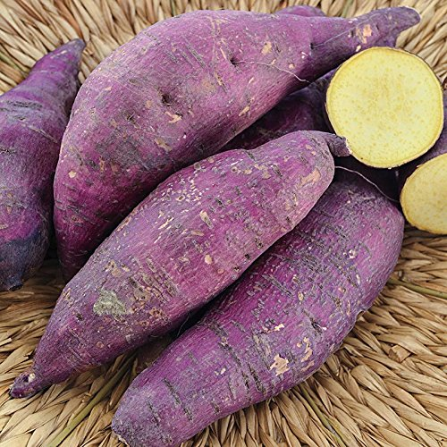 (3 Sweet Potato Plants/Slips - Murasaki Purple,Japanese Sweet potato, Yellow Flesh)