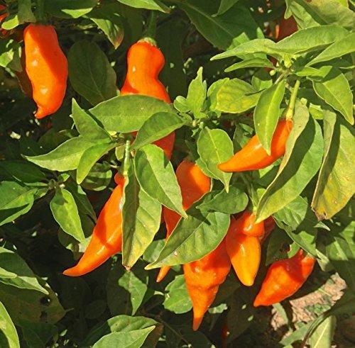 Habanada Pepper (1 Live Plant) C. Chinense,Heatless Habanero,Tropical Sweetness