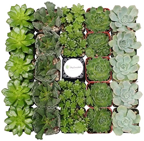 Shop Succulents Green Succulent (Collection of 100) by Shop Succulents